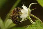 Včelka na malinách