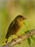 Zvonek zelený - sameček