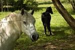 Koně a mouchy