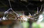 Pavouček Křižáček pruhovaný.