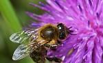 Včelka v květu