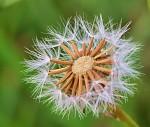 Chmyříčkový květ