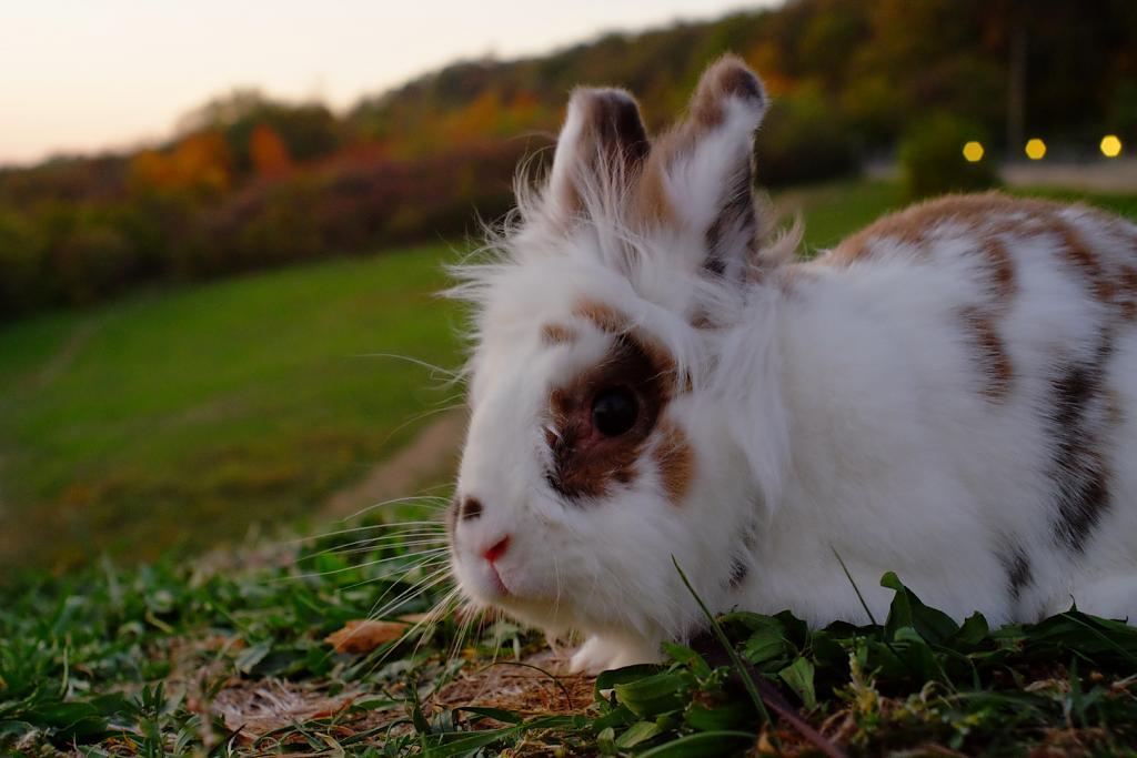 podvečer nad králíkem