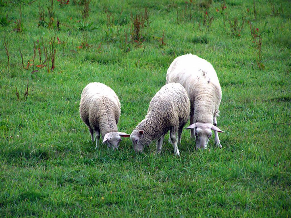 Koloběh života oveček