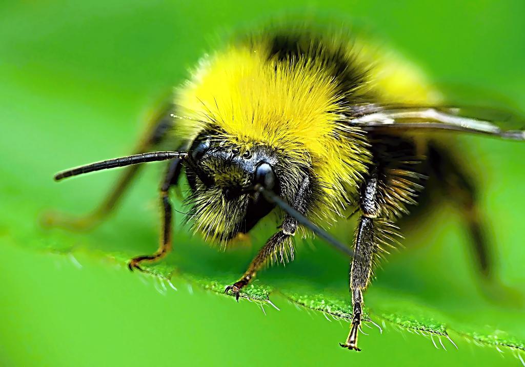 včelí medvídek