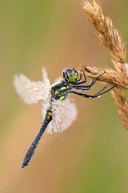 Vážka tmavá (Sympetrum danae)