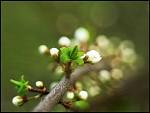 Kvety slivky