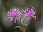 Kvet bodliaku