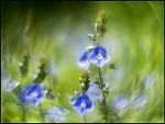 Modračik