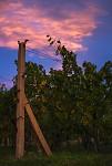 podvečer ve vinohradu