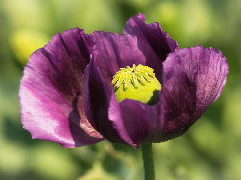 Kvetoucí mák