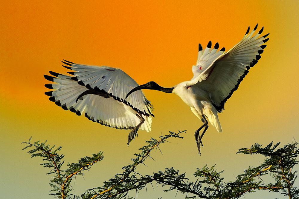 Ibis posvátný (Threskiornis aethiopicus)