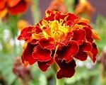 Květ Luciferův
