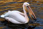lovec kaprů pelikán bílý