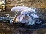 pelikán bílý při hygieně