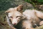 Liška od Pifl46
